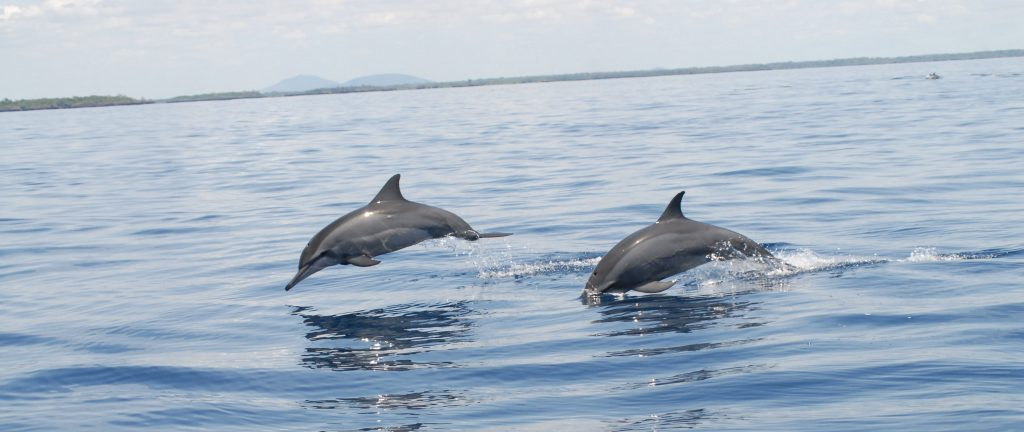 Cropped Dolphins at Kisite Mpunguti